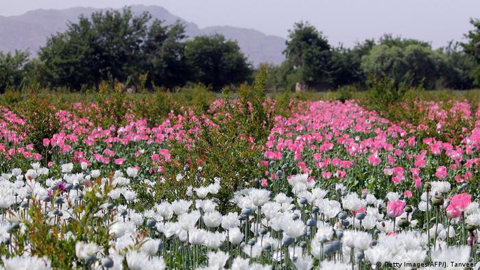 Afghanistan Kandahar - Opiumfeld (Getty Images/AFP/J. Tanveer)