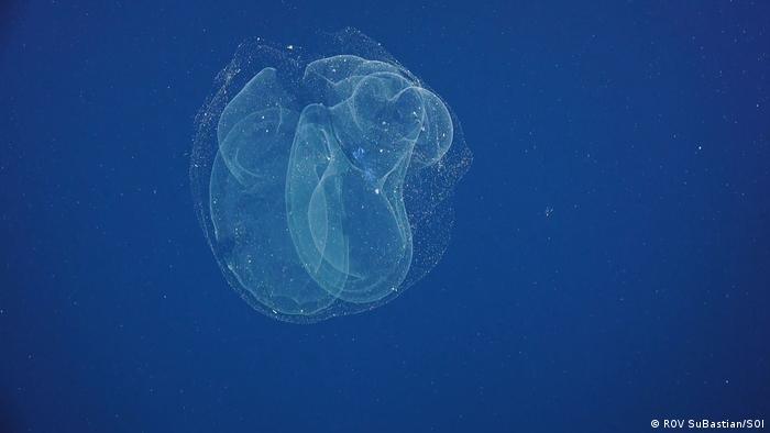 A siphonophore - a jellyfish related to the venomous Portuguese man of war. Pescadero Basin (ROV SuBastian/SOI)