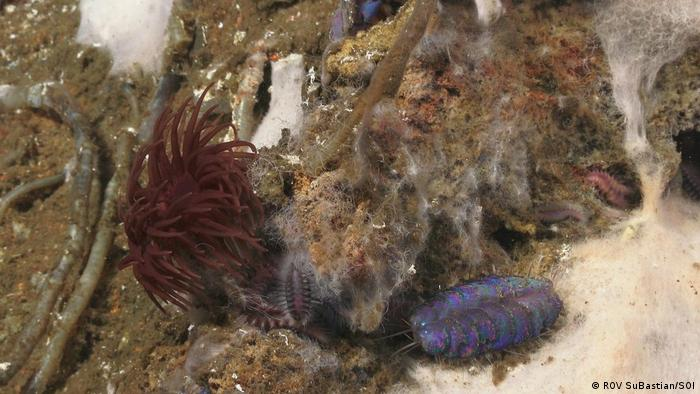 iridescent blue scale worm, named Peinaleopolynoe orphanae at Pescadero Basin (ROV SuBastian/SOI)