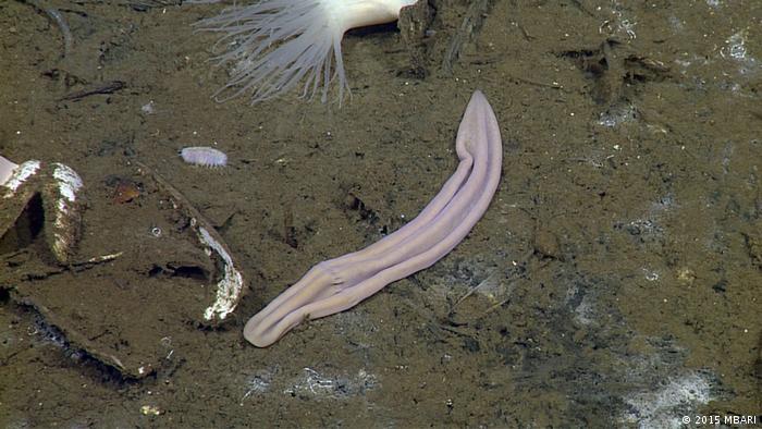 Xenoturbella profunda at the Pescadero Basin (2015 MBARI)