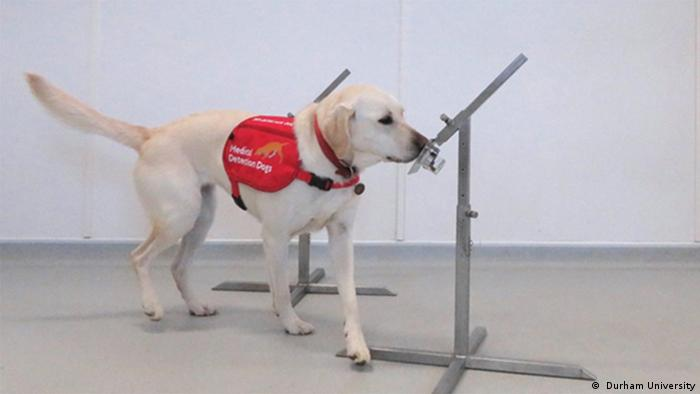 Malaria sniffer dog Lexi at Durham University ( Durham University)