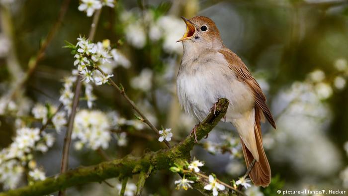 Why nightingales love scruffy Berlin
