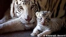 One of three newborn white Bengal tiger cubs is pictured with its mother in La Pastora Zoo in the municipality of Guadalupe, Mexico April 25, 2019. REUTERS/Daniel Becerril TPX IMAGES OF THE DAY