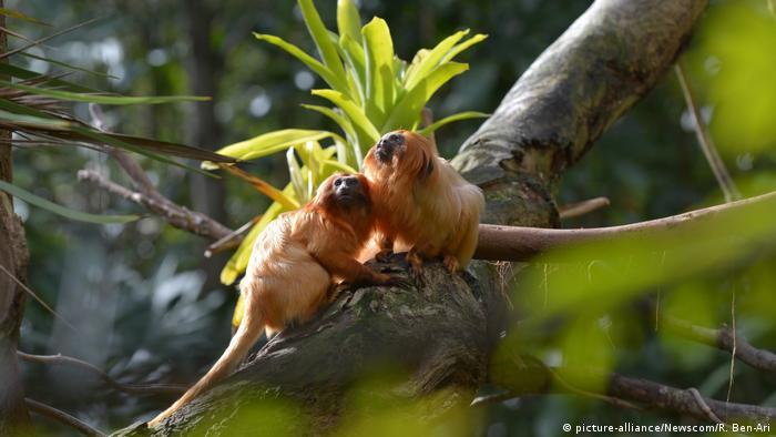 Zwei Golden Lion Tamarin Regenwald Brasilien