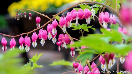 U skoro cijeloj Njemačkoj ovih dana pada kiša. Proljeće... A na ovoj biljci koja se zove Srce koje plače (Lamprocapnos spectabilis) sve se nekako lijepo uklopilo.