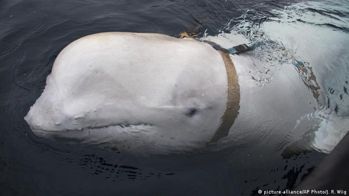 Beluga whale with harness