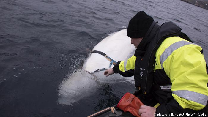 A man leaning out of a boat tries to reach the harness attached to a beluga whale