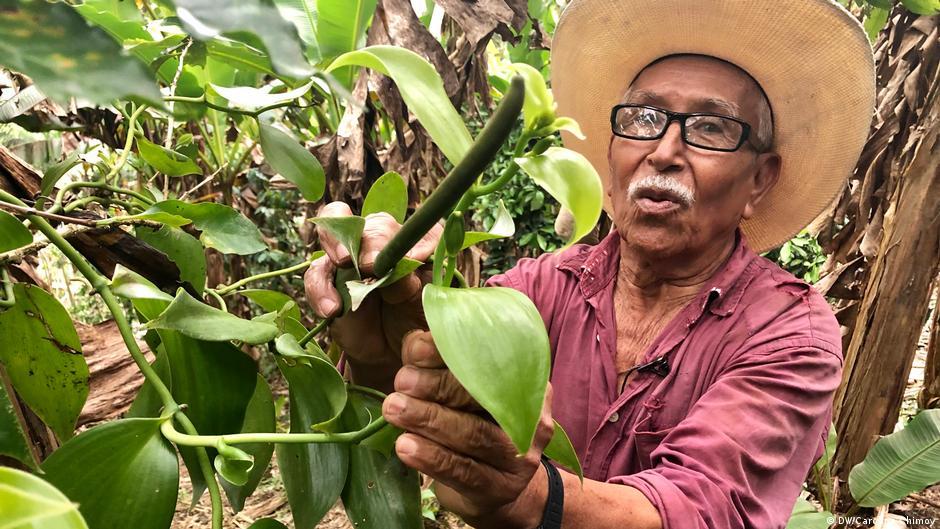 La vainilla de México pierde a sus pequeños polinizadores