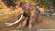 Elefant im Maesa Elephant Camp in Thailand