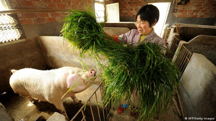 A farmer feeds a pig at her farm in Jiaxing, Zhejiang province. Archive photo, taken in March 2013.