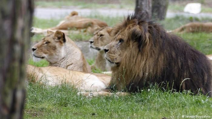 Lions lounge at Serengeti Park in Hodengahen