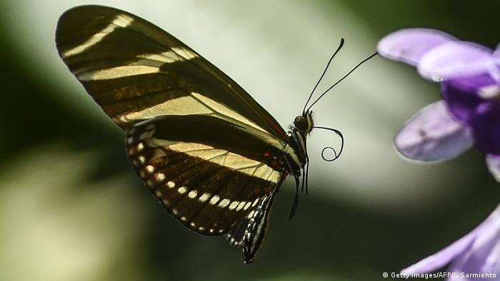 Symbolbild Artenvielfalt Schmetterling (Getty Images/AFP/J. Sarmiento)
