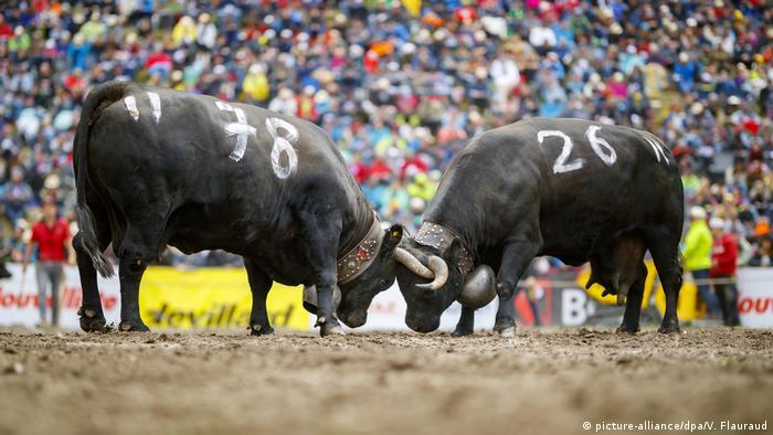 Lokalni mediji su prenijeli da je pobijedila favoritkinja: Kleron je šampionka nacionalnih borbi krava rase eringer u švicarskom kantonu Vale. Eringer je stara rasa domaćeg goveda. Uprkos hladnoći, više od 10.000 ljudi je gledalo borbe oko 120 krava koje važe za ratoborne po prirodi. Kleron je na kraju ponijela titulu kraljice svih kraljica.