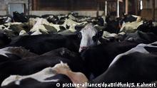 Kühe stehen am 17.02.2015 in Niederpöllnitz (Thüringen) in einem Stall. Mit dem Fall der Milchquote Ende März 2015 müssen sich Thüringens Bauern auf einen stärkeren Preisdruck einstellen. Foto: Sebastian Kahnert/dpa (zu dpa: «Die Milchquote fällt - Risiko und Chance für Thüringens Milchbauern» vom 22.02.2015) +++(c) dpa - Bildfunk+++ | Verwendung weltweit