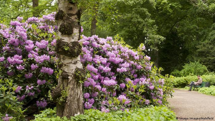 Der Rhododendron blüht groß, rosa und lila im Großen Tiergarten (Foto: Imago Images/Hohlfeld).