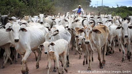 A herd of cows in Brazil