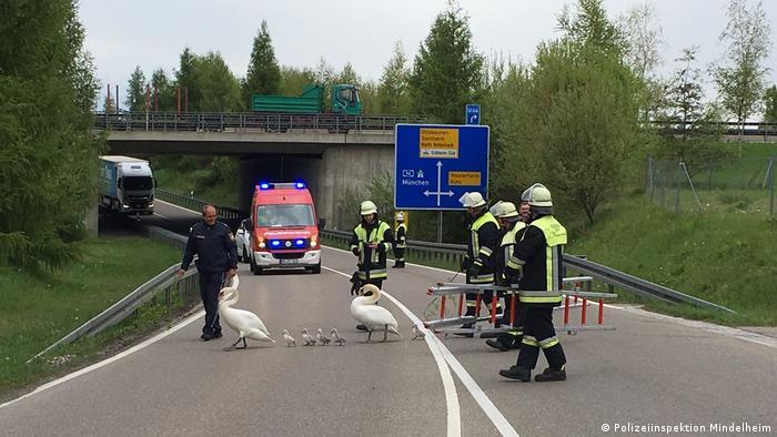 Пожарные и полиция переводят лебедей через дорогу в Баварии