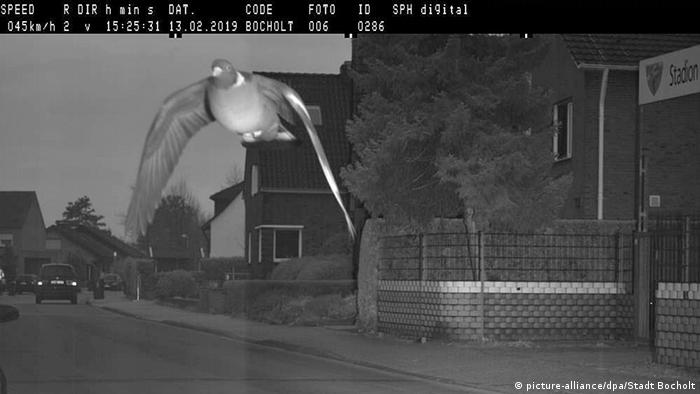 A pigeon setting off a speed camera