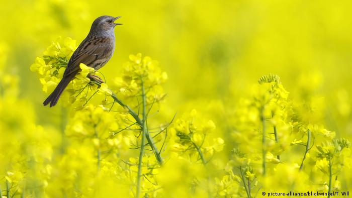 Рапично поле в провинция Северен Рейн-Вестфалия