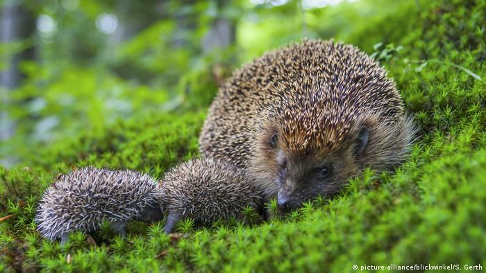 A hedgehog with two hoglets in a Swiss forest near St. Gallen