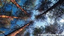 Grabow (Mecklenburg-Vorpommern): Ein von Kiefernspannern befallener Baumbestand im Forstrevier Grabow am 27.07.1999 mit teilweise bereits abgestorbenen Kiefern. Der größte Befall mit Kiefernspannern seit Jahrzehnten wird derzeit in verschiedenen Landesteilen Mecklenburg-Vorpommerns bekämpft. Rund 8.000 Hektar Wald werden eine Woche lang vom Hubschrauber aus besprüht, um die Massenvermehrung des Forstschädlings einzudämmen. (SCH20-270799) | Verwendung weltweit