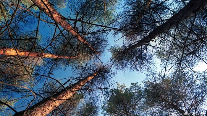 Сосновий ліс (символічне фото)