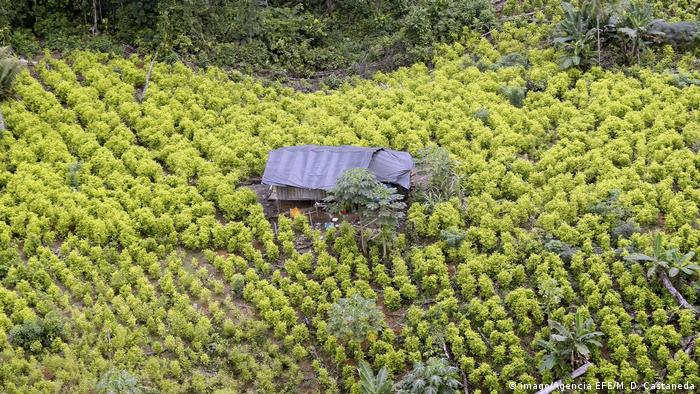 An aerial shot of a coca leaf plantation in Colombia
