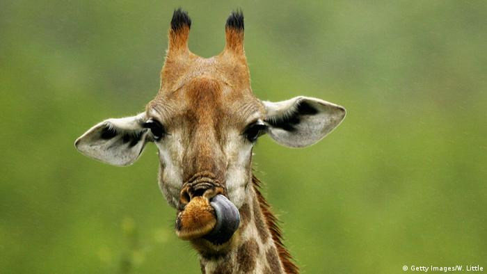 Una jirafa mirando a cámara.