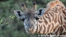 Giraffe (Getty Images/S. Franklin)
