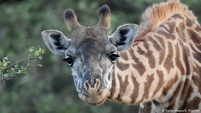 Giraffe (Getty Images/S. Franklin)