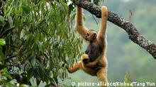 An eastern black crested gibbon resting on a tree branch at the Wuliang Mountain National Nature Reserve in Jingdong Yi Autonomous Prefecture, southwest China's Yunnan Provincee