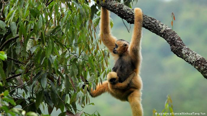 Eastern black crested gibbon (picture-alliance/Xinhua/Tang Yun)