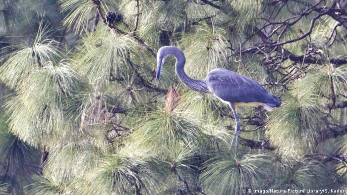 White bellied Heron Ardea insignis (Imago/Nature Picture Library/S. Kadur)