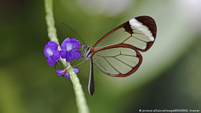 Бабочка из семейства стеклянниц на острове Майнау