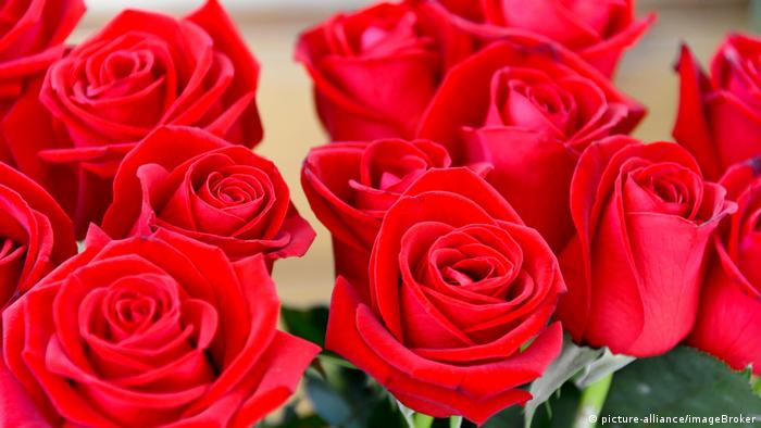 Red roses (picture-alliance/imageBroker)