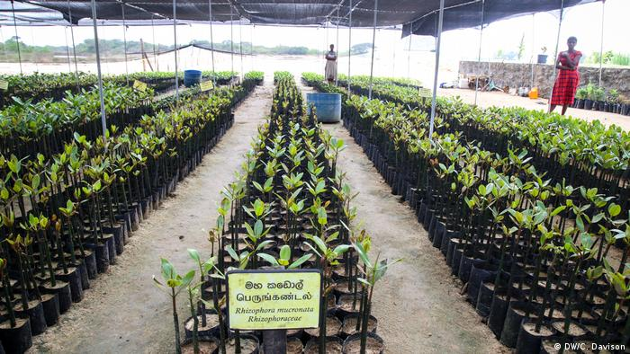 Mangrove saplings growing in a nursery, two women stand in the background