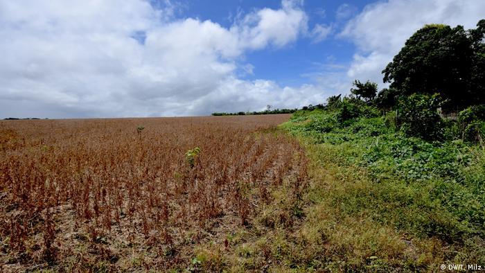 Marrom, campo de soja com plantas ceifadas do lado esquerdo faz fronteira com vegetação nativa, do lado direito, sob céu azul com nuvens