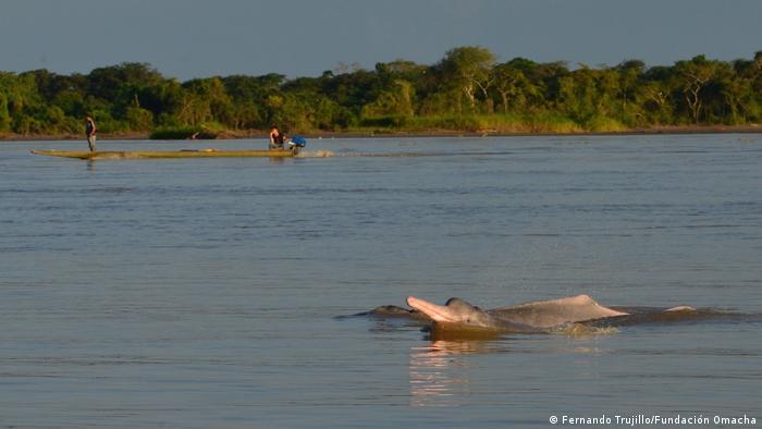 Ein Amazonasdelfin schwimmt im Orinoco, dem viertgrößten Fluss der Welt.