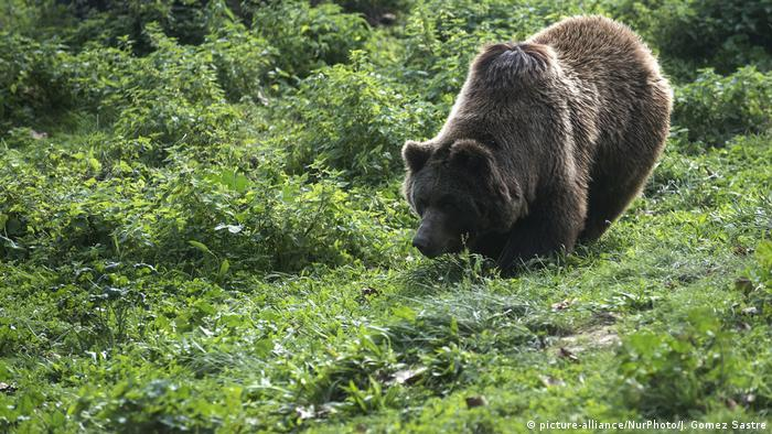 One of the brown bears that inhabits the Karpin Abentura wildlife center in of Carranza in Vizcaya, Spain
