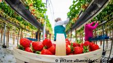 Strawberry farm in Germany (picture-alliance/dpa/C. Gateau)