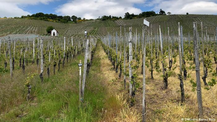 Vineyards in the Mosel region