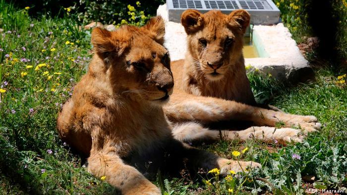 Duas leoas deitadas em um campo florido