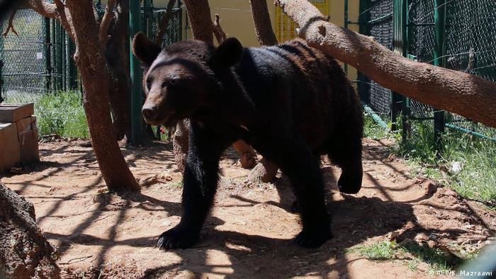 Urso caminha em um dos recintos do santuário