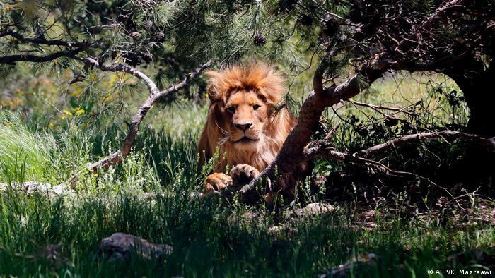 Leão deitado em meio à floresta.