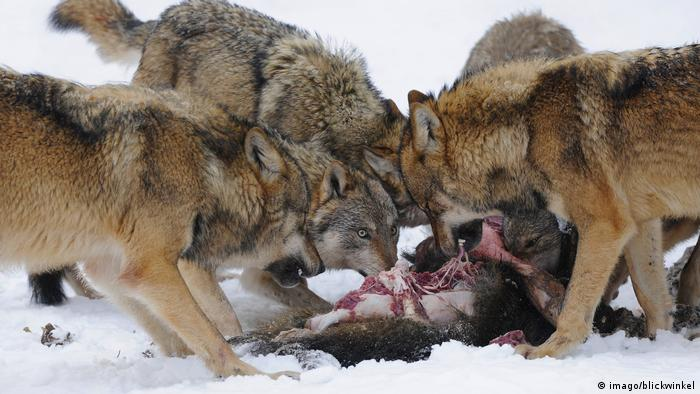 Wolves eating a wild boar