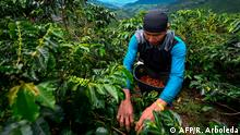 A man harvest coffeein Santuario municipality, Risaralda department, Colombia on May 10, 2019. - The coffee crisis is affecting small producers, many of which tend to disappear due to the 'paltry' international prices, and which May harvest was mostly sold at a loss. Colombia is the third largest producer of coffee, after Brazil and Vietnam and the first of the famous soft coffee, of higher quality. (Photo by Raul ARBOLEDA / AFP) Zu AFP-Reportage (englisch) vom 28.05.2019.