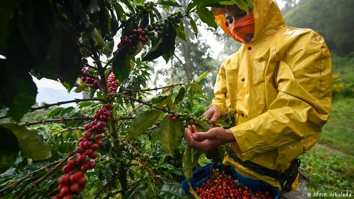 Un hombre cosechando café.