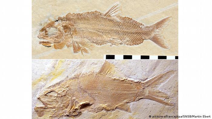 BdT Dicke Schuppen, große Zähne Fossilien neuer Raubfische entdeckt (picture-alliance/dpa/SNSB/Martin Ebert)