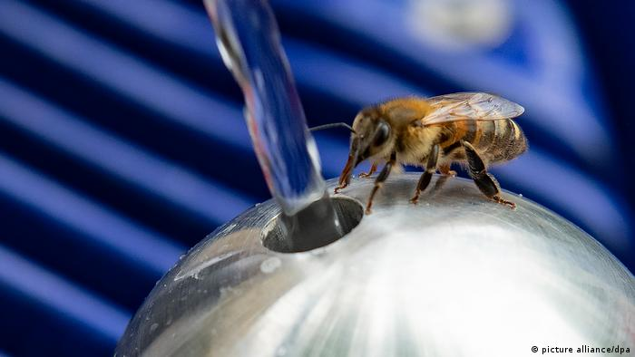 Una abeja bebe agua en una fuente de Berlín, en la plaza Mariannenplatz, en el barrio de Kreuzberg. Estos insectos polinizadores son clave para la agricultura y la producción de alimentos: más del 75 % de los cultivos dependen de ellos. Esta imagen, que promociona la calidad del agua en la capital alemana, refleja con cuánto cuidado debemos tratar a las abejas, que están en peligro de extinción.