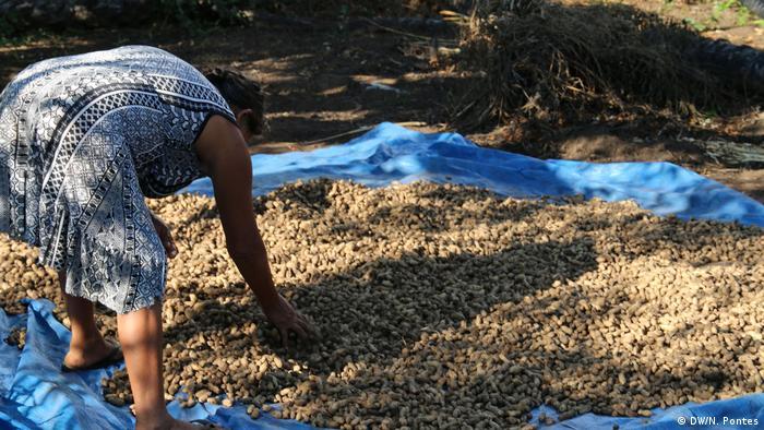 Mulher mexe em uma pilha de amendoim em casca, que estão por cima de uma lona azul.